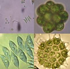 Chlorococcales - Chlorococcales | Sandre