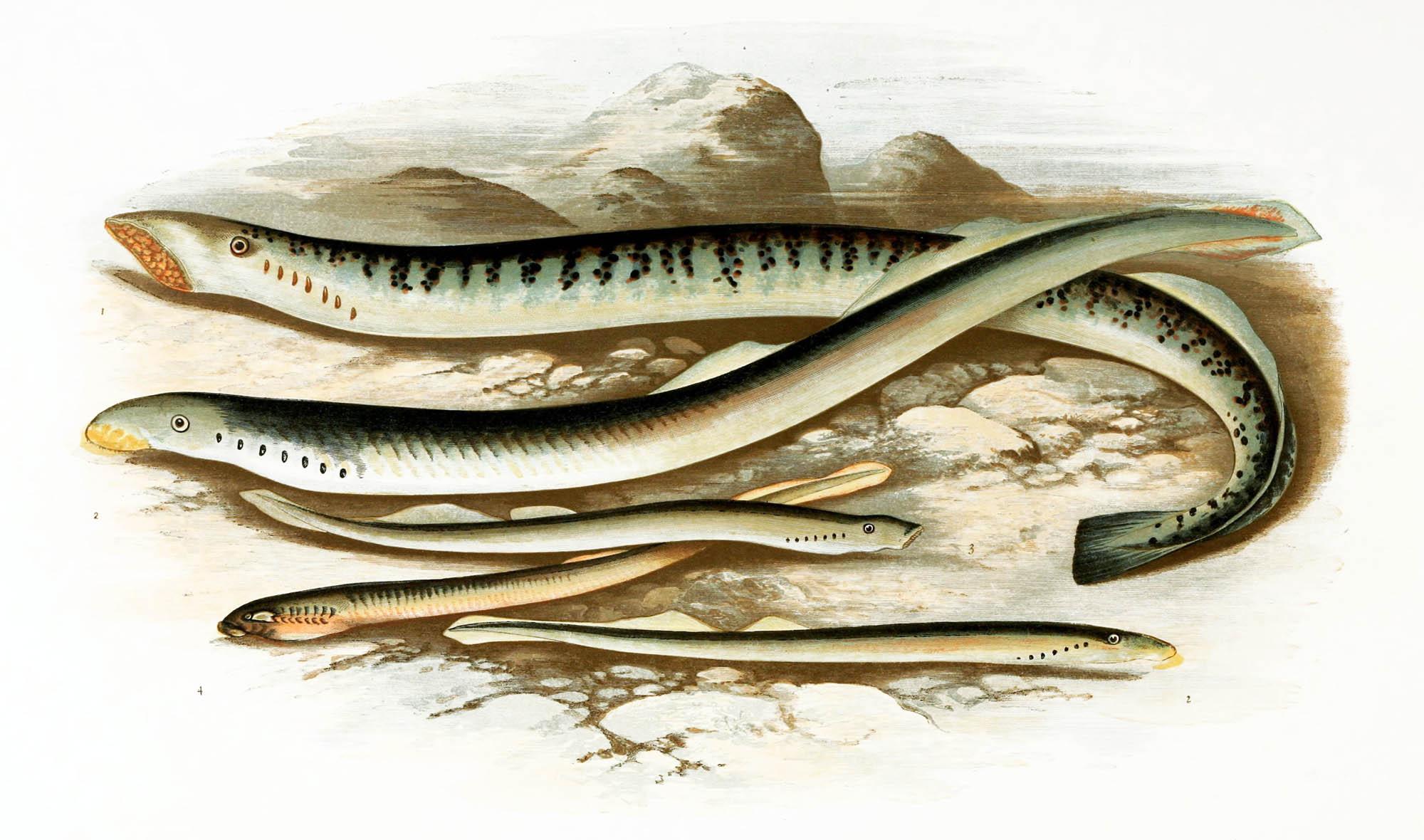Petromyzontidae, Bonaparte, 1831 - Lamproie   Sandre